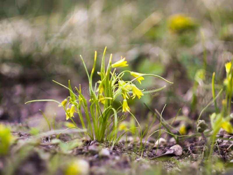 Gelbe Blumen des Frühlinges von Ganszwiebeln ( Gagea) im Wald lizenzfreie stockfotografie