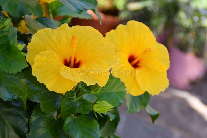 Gelbe Blumen des Hibiscus stockfotografie