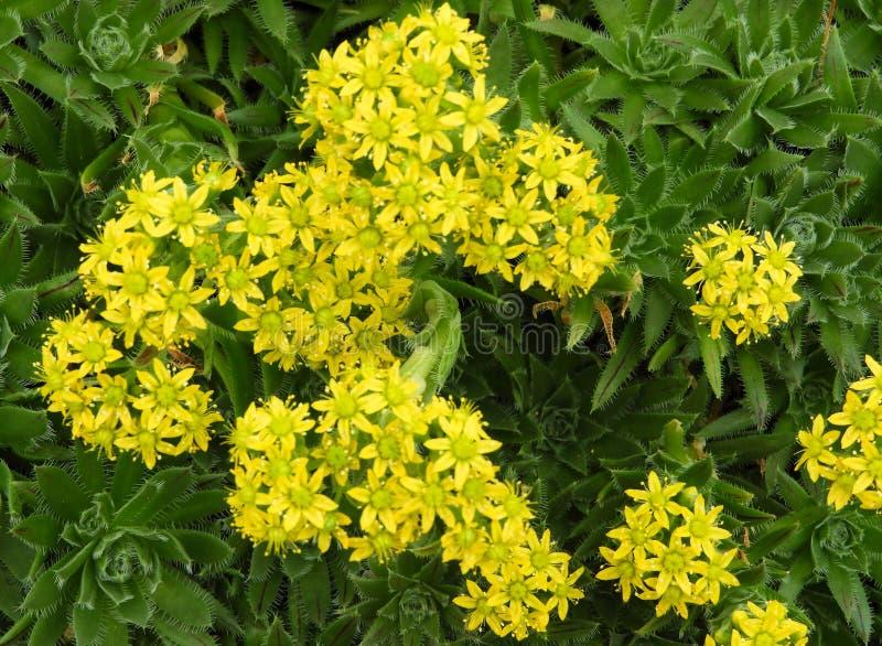 Gelbe Blumen eines Hausporrees stockbilder