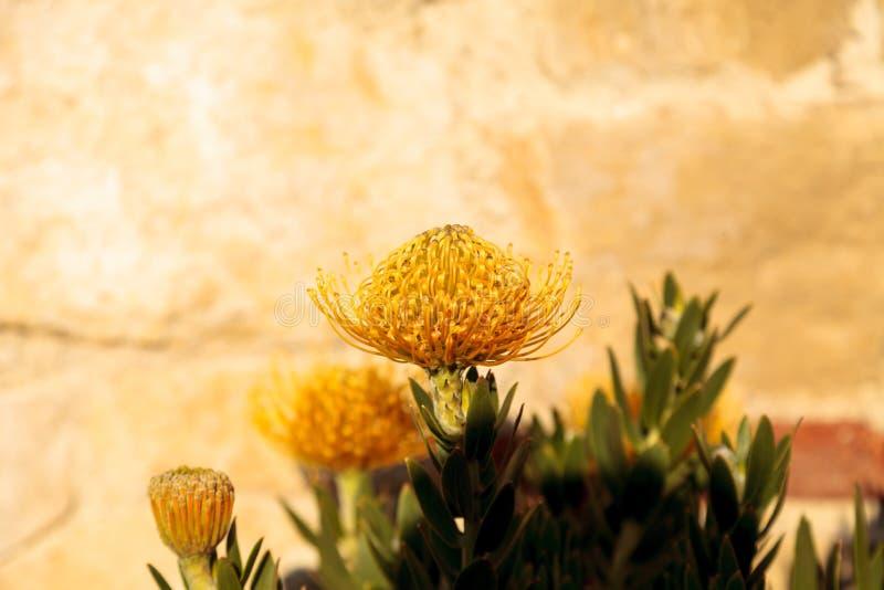 Gelbe Blumen eines Nadelkissen Protea lizenzfreies stockfoto