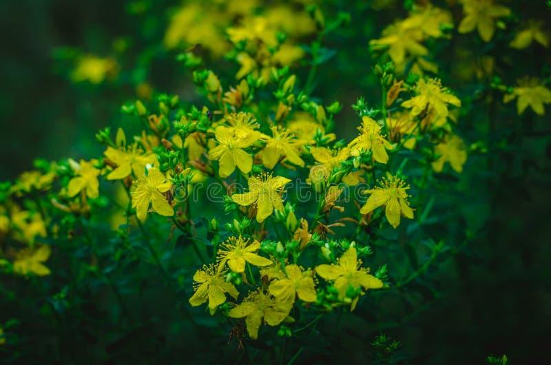 Gelbe Blumen Hypericum Hypericum in der Predawndämmerung Sommerwaldlichtungshalbe stunde vor Sonnenaufgang Schie?en auf Augenh?he lizenzfreie stockfotografie