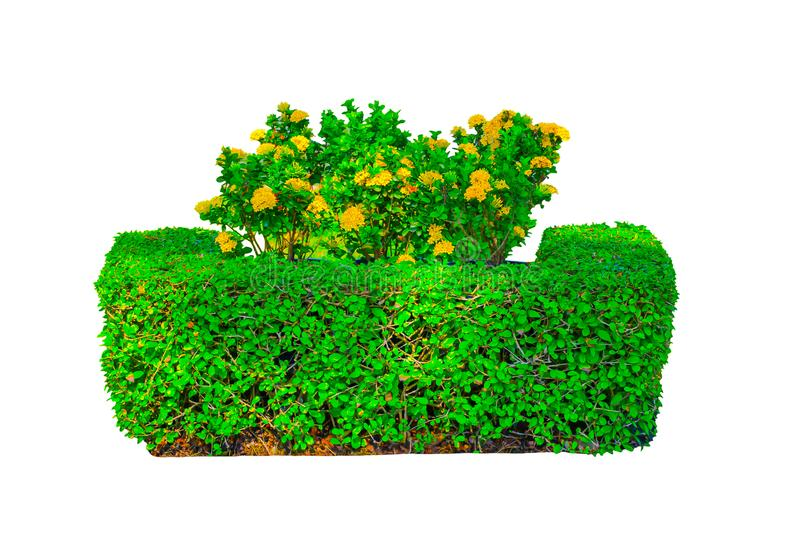 Gelbe Blumen Ixora oder der Spitze an einer Mitte der quadratischen geformten grünen Hecke schnitten den Baum, der auf weißem Hin stockfotos