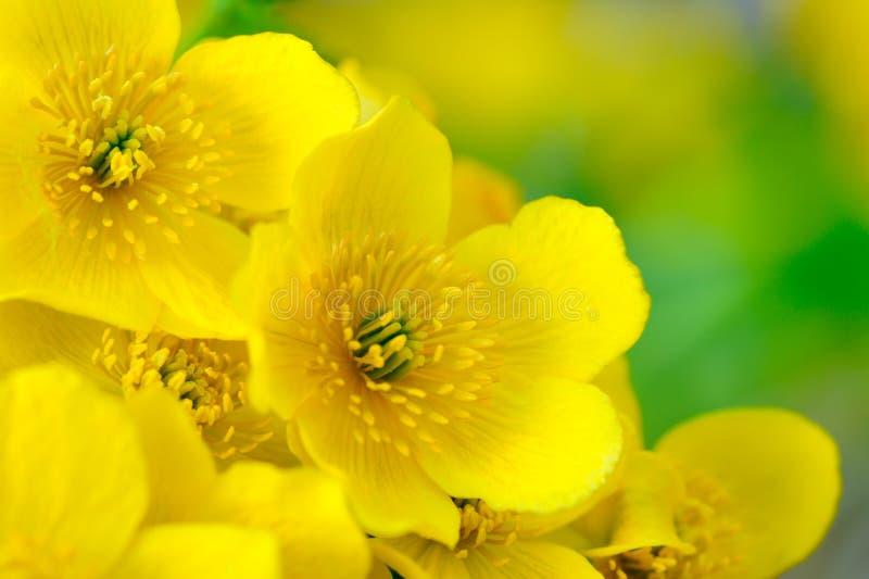 Gelbe Blumen Kingcup (Marsh Marigold oder Caltha Palustris) Makro stockfotos