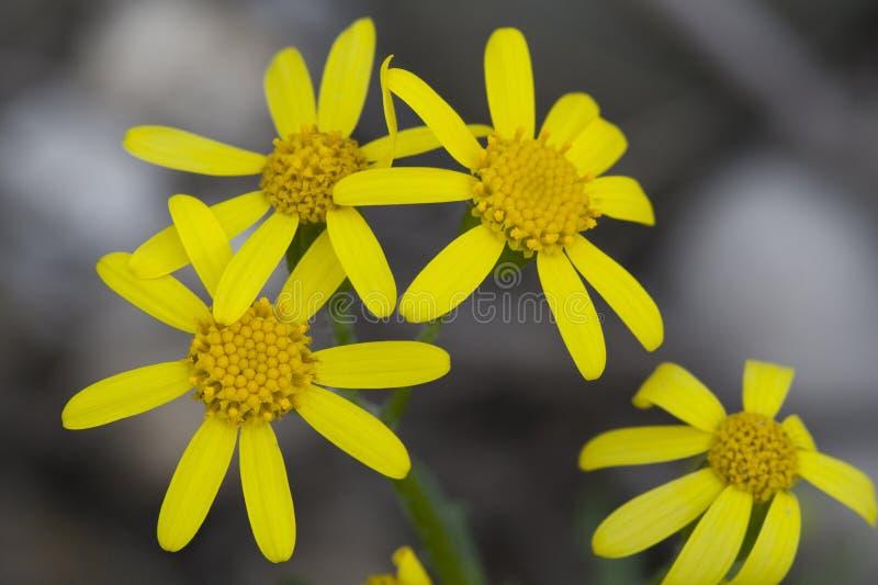 Gelbe Blumen mit Aus-vonfokushintergrund lizenzfreie stockfotografie