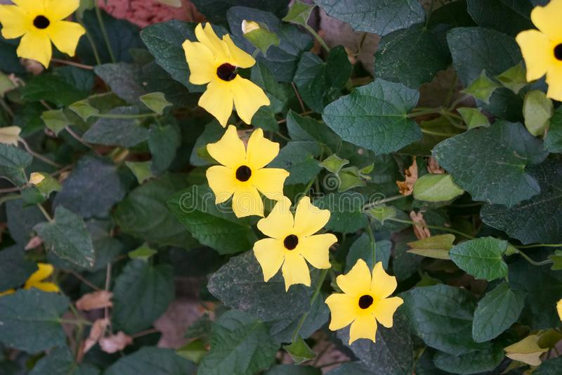 Gelbe Blumen mit einer schwarzen Mitte, Beschaffenheitshintergrund lizenzfreie stockbilder