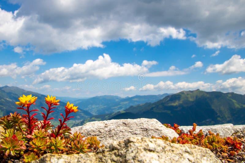 Gelbe Blumen mit rotem Stamm und die österreichischen Alpen im hinteren ` Zillertal-` Tal, blauer Himmel mit weißen Wolken stockbilder