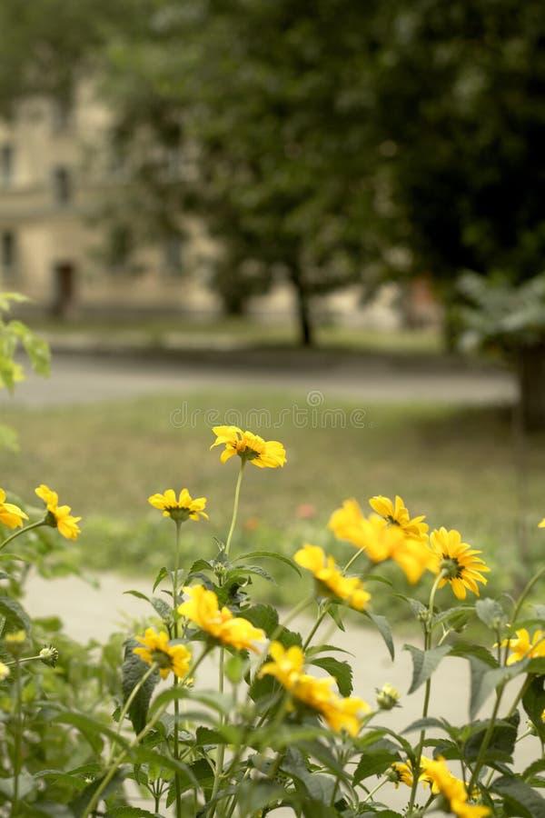Gelbe Blumen neben der Straße im Sommer lizenzfreies stockfoto