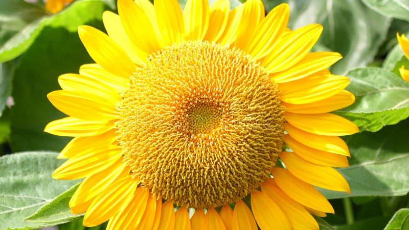 Gelbe Blumen oder Sonnenblumen blühen in der Tageszeit stockfoto