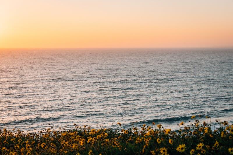 Gelbe Blumen und Ansicht des Pazifischen Ozeans bei Sonnenuntergang, bei Dana Point Headlands Conservation Area, in Dana Point, C stockfoto