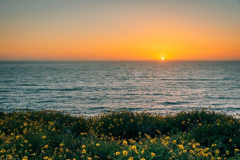 Gelbe Blumen und Ansicht des Pazifischen Ozeans bei Sonnenuntergang, bei Dana Point Headlands Conservation Area, in Dana Point, C stockbild