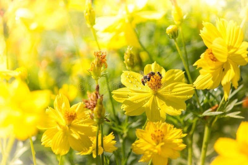 Gelbe Blumen und Bienen lizenzfreies stockfoto