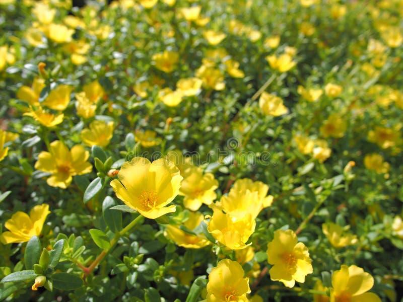 Gelbe Blumen und Sonnenschein stockbild