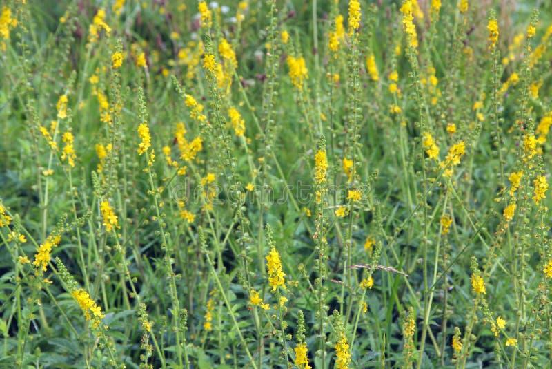 Gelbe Blumen von Agrimonia eupatoria blühend auf dem Gebiet Medizinische Anlage stockbilder