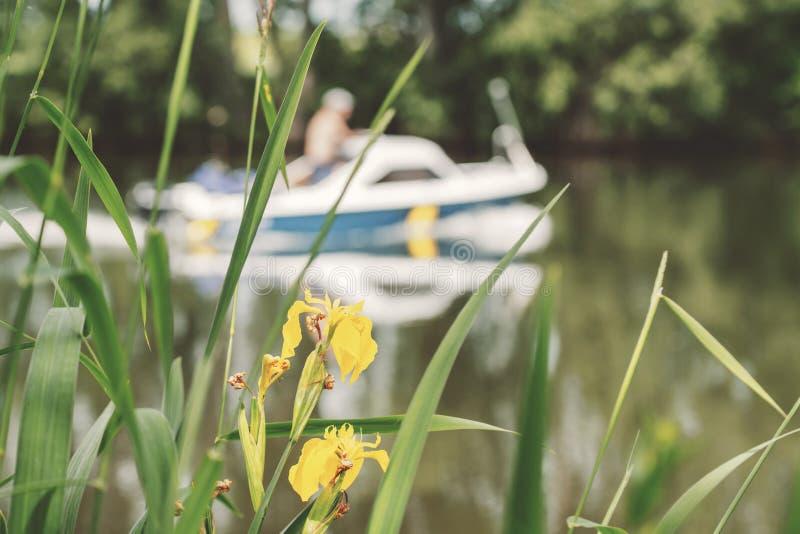 Gelbe Blumen von blühenden Schilfen auf dem Fluss, auf dem ein kleines Boot mit einem Motor sich verschiebt stockfotos