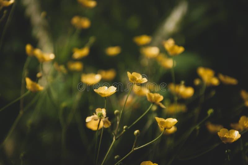 Gelbe Blumen von Butterblumeen auf Wiese lizenzfreie stockbilder