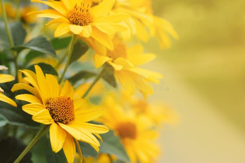 Gelbe Blumen von Echinacea verwischten bokeh Hintergrund mit einer Leerstelle für Text stockfoto