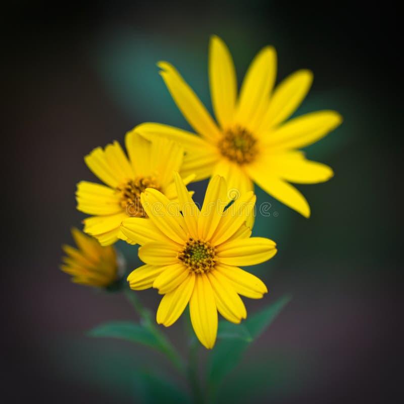 Gelbe Blumen von Topinambur Helianthus tuberosus stockfoto
