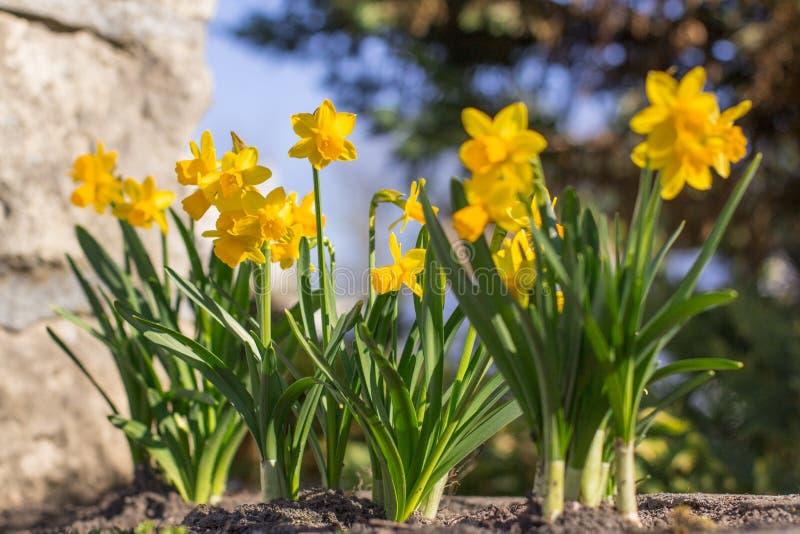 Gelbe Blumennahaufnahme und unscharfer Hintergrund Frühling kam lizenzfreie stockfotografie