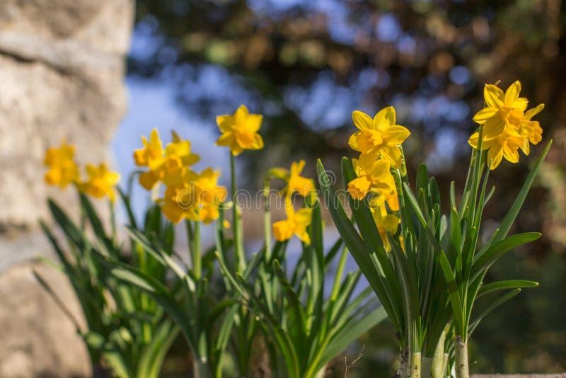 Gelbe Blumennahaufnahme und unscharfer Hintergrund Frühling kam lizenzfreie stockfotos