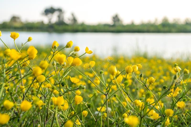 Gelbe Butterblume blüht auf dem Gebiet nahe dem See Ranunculus stockfoto