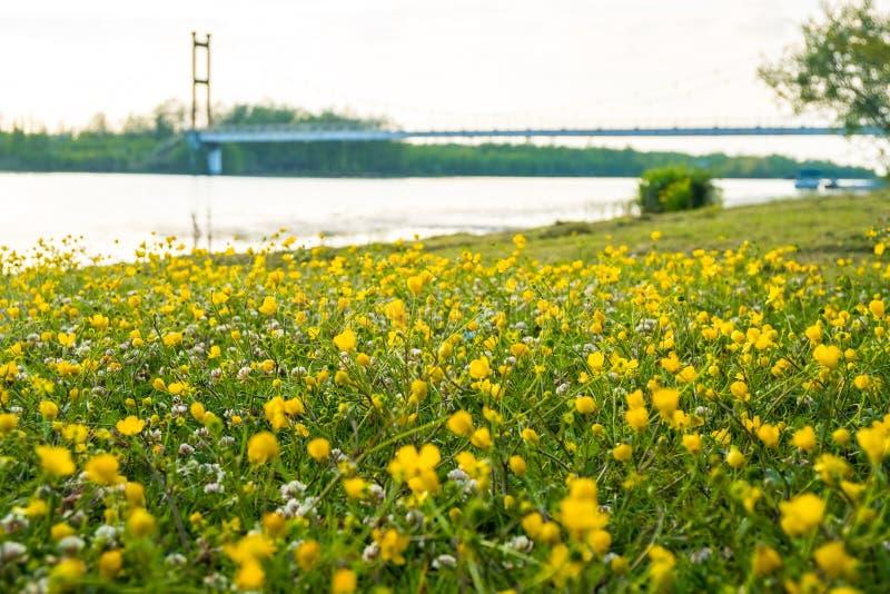 Gelbe Butterblume blüht auf dem Gebiet nahe dem See Ranunculus stockbilder