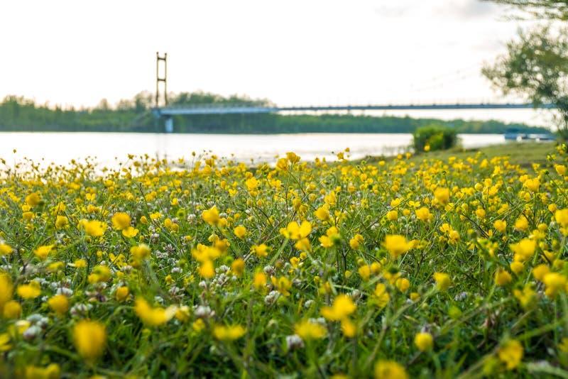 Gelbe Butterblume blüht auf dem Gebiet nahe dem See Ranunculus lizenzfreie stockfotos