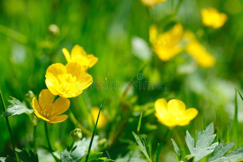 Gelbe Butterblume im grünen Gras stockfotografie