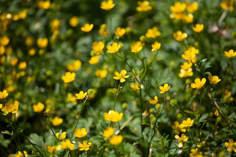 Gelbe Butterblumeblumen auf grünes sonniges Feld unscharfem Hintergrundabschluß oben, helles glänzendes spearworts Blumenmakro stockbilder
