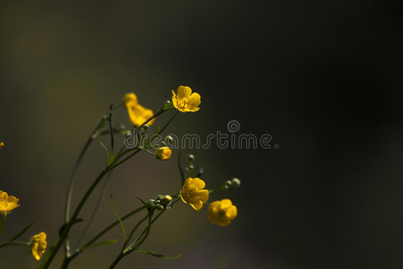 Gelbe Butterblumeen lizenzfreie stockbilder