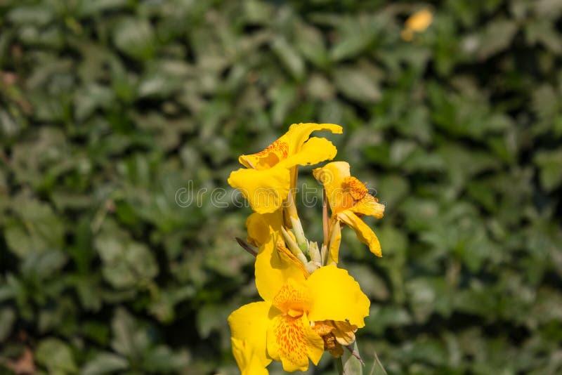 Gelbe Canna-Blume im dunklen Hintergrund stockfotos
