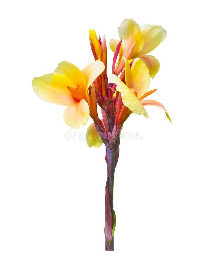 Gelbe Canna-Blume lokalisiert auf Weiß lizenzfreie stockbilder