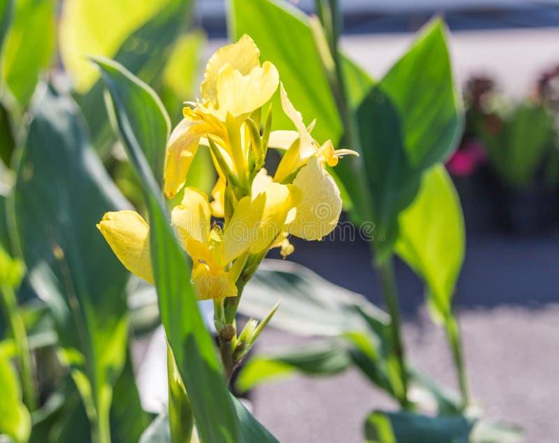Gelbe canna Lilie stockbild