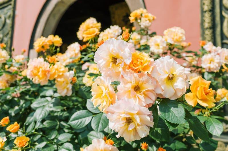 Gelbe chinesische Rosen, die im Sommer bl?hen stockbild