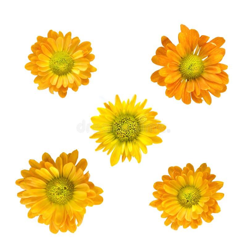 Gelbe Chrysanthemeköpfe getrennt auf Weiß lizenzfreie stockbilder