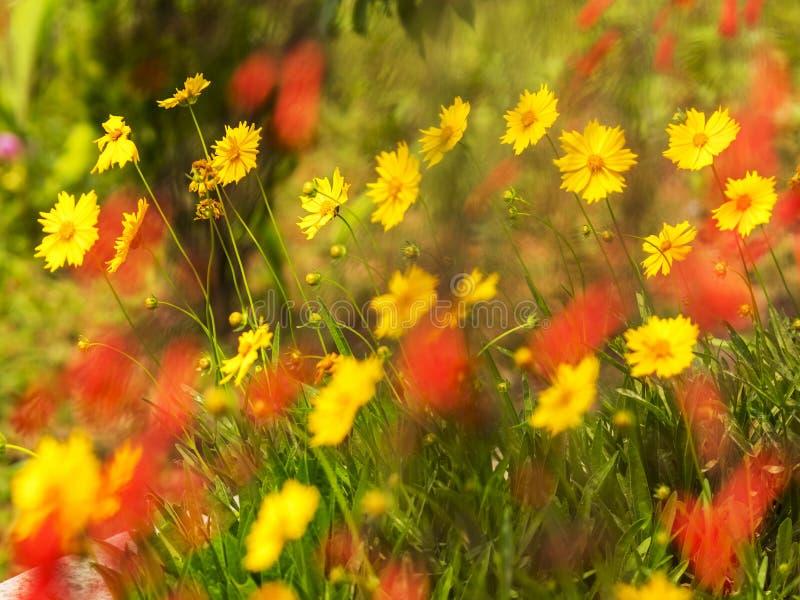 Gelbe Coreopsis-Gänseblümchen floers mit unscharfen roten Blumen entlang einem Weltfriedenspagodengarten lizenzfreies stockfoto
