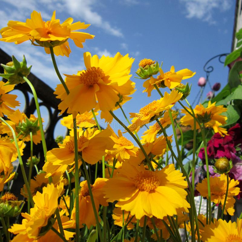 Gelbe Coreopsisblumen im Balkon grünend Heller kleiner Garten stockbilder