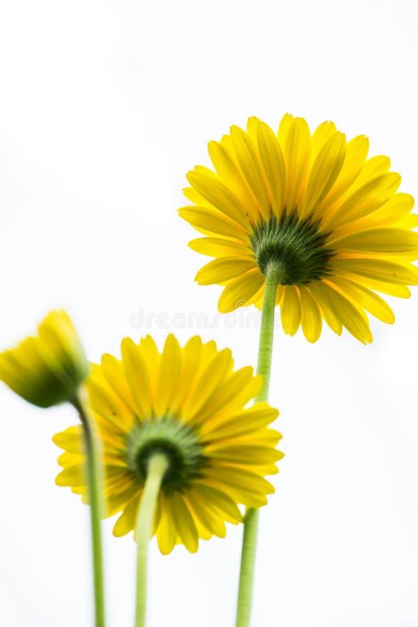 Gelbe Daisy Flower Facing Up auf weißem Hintergrund lizenzfreies stockbild