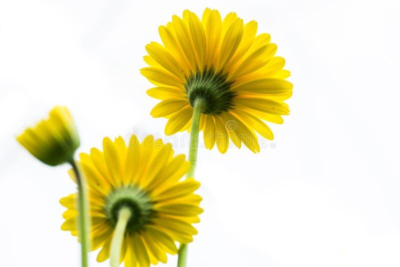 Gelbe Daisy Flower Facing Up auf weißem Hintergrund lizenzfreie stockfotografie