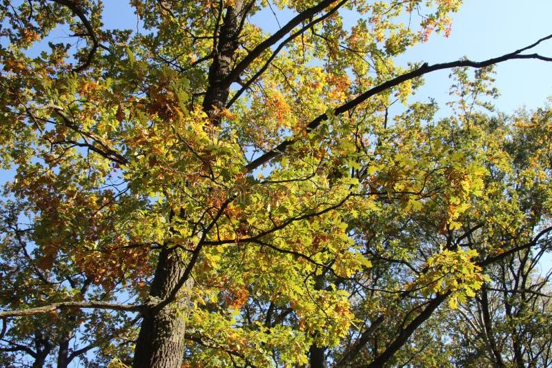 Gelbe Eiche im Herbst stockfoto