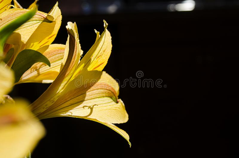 Gelbe einfachere Fr?hlings-Taglilien 025 stockfotos