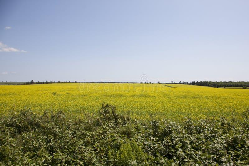 Gelbe Ernten mit Samen stockfotos