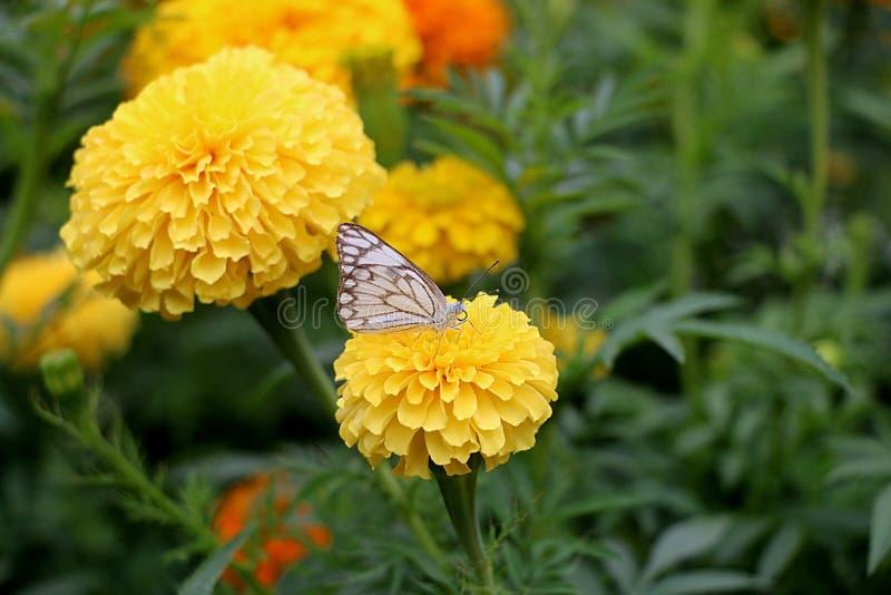 Gelbe Farbblume mit Schmetterling stockbilder