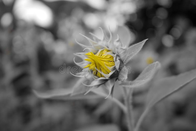 Gelbe Farbe der Sonnenblume auf Grau stockfotografie