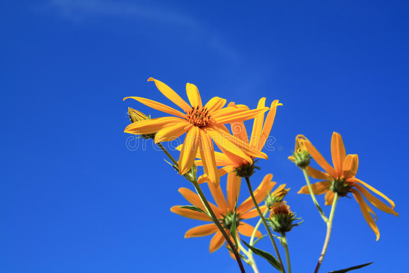 Gelbe Feldblume stockfotos
