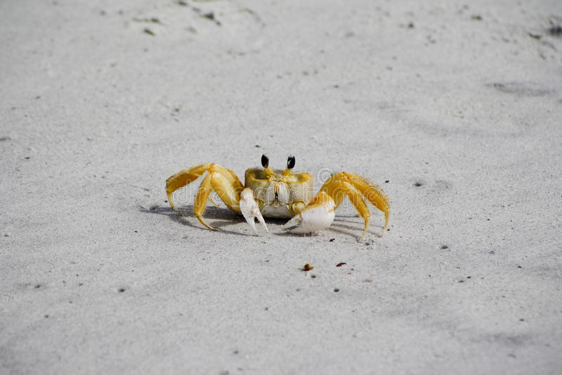 Gelbe Fiedler-Krabbe stockbilder