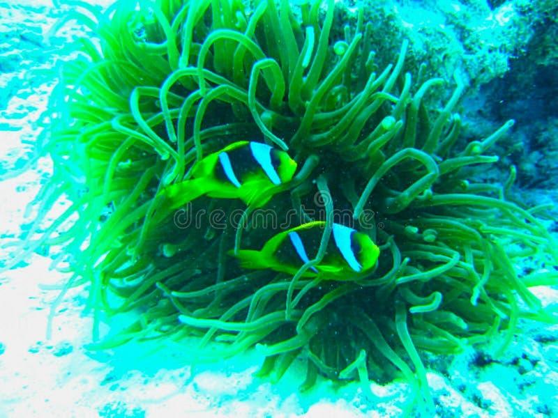 gelbe Fische, die zwischen Anemonen schwimmen stockfotos