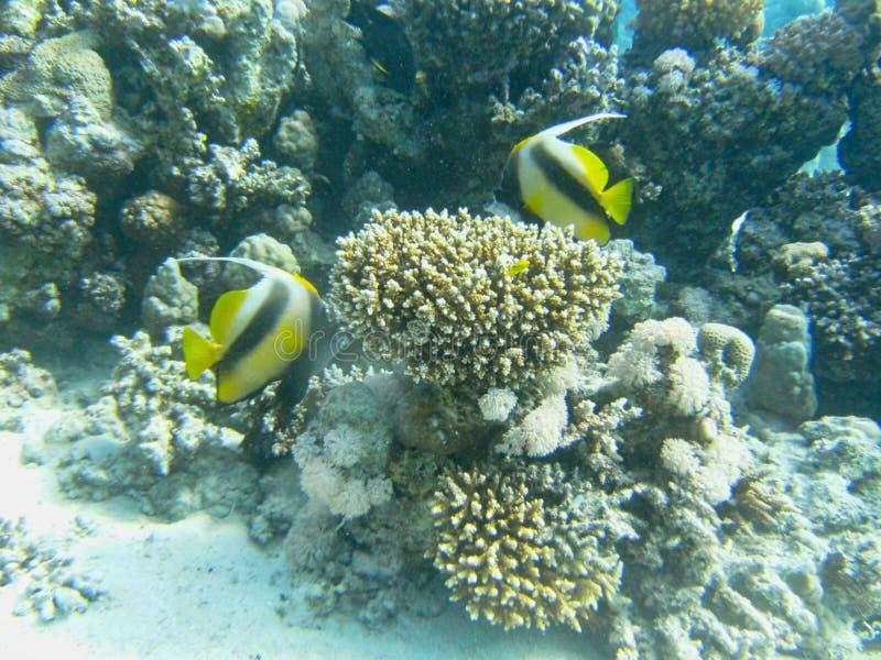 gelbe Fische nahe den Korallen stockbild