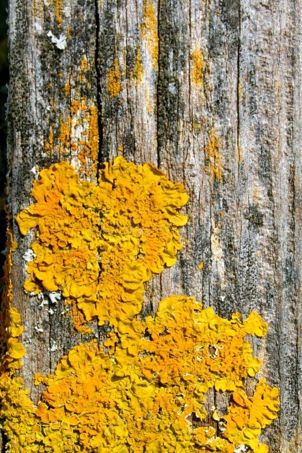 Gelbe Flechten auf Holz lizenzfreie stockfotos