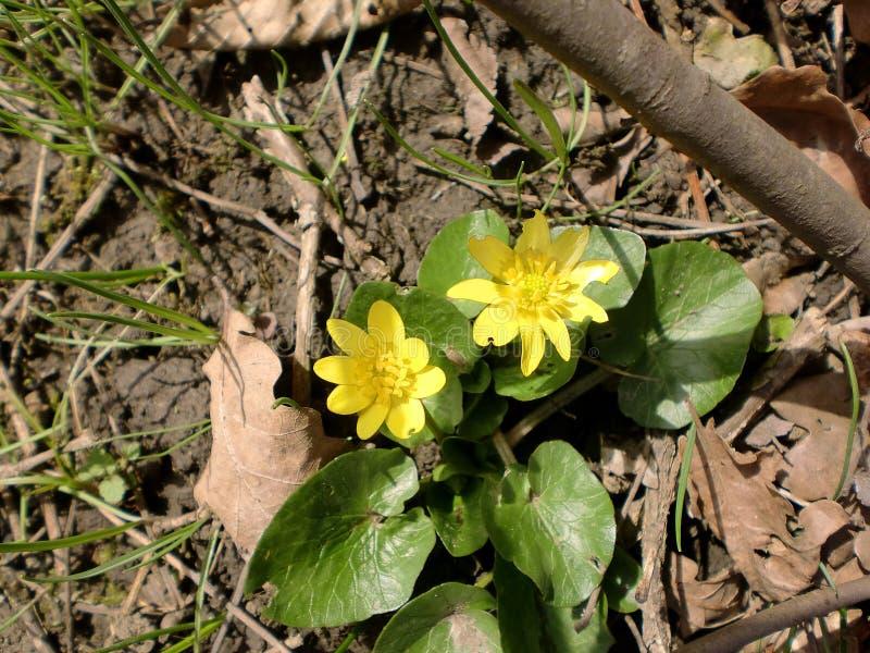 Gelbe Frühlingsblume lizenzfreies stockfoto
