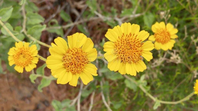 Gelbe Frühlingsblumen in der Wüste lizenzfreies stockbild